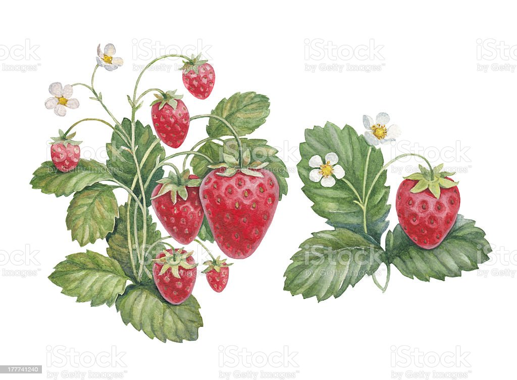 Watercolor painting of strawberry bush vector art illustration