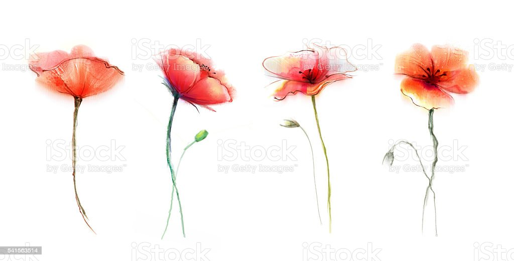 Watercolor Painting Poppy Flower Isolated Flowers On White Background Royalty Free