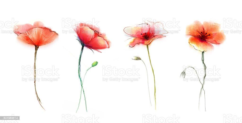 Flor amapola acuarela. Flores sobre un fondo blanco aislado - ilustración de arte vectorial