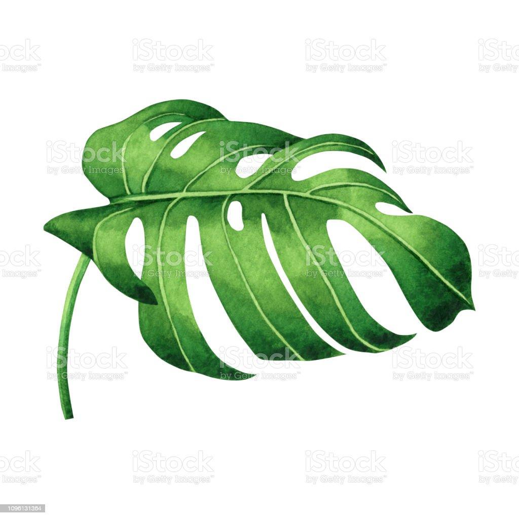 Suluboya Palmiye Yaprak Beyaz Arka Plan Uzerinde Izole Tropikal