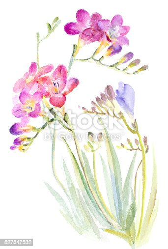 istock Watercolor painting_fresia 827847532
