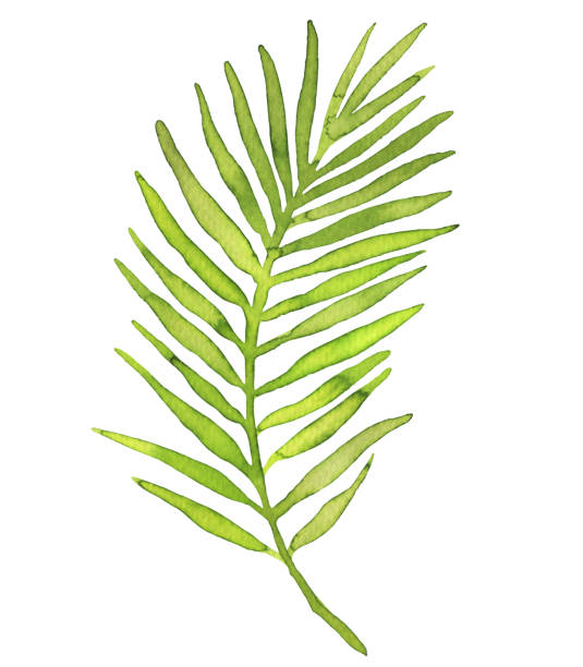 watercolor palm leaf isolated on white background - palm leaf stock illustrations, clip art, cartoons, & icons