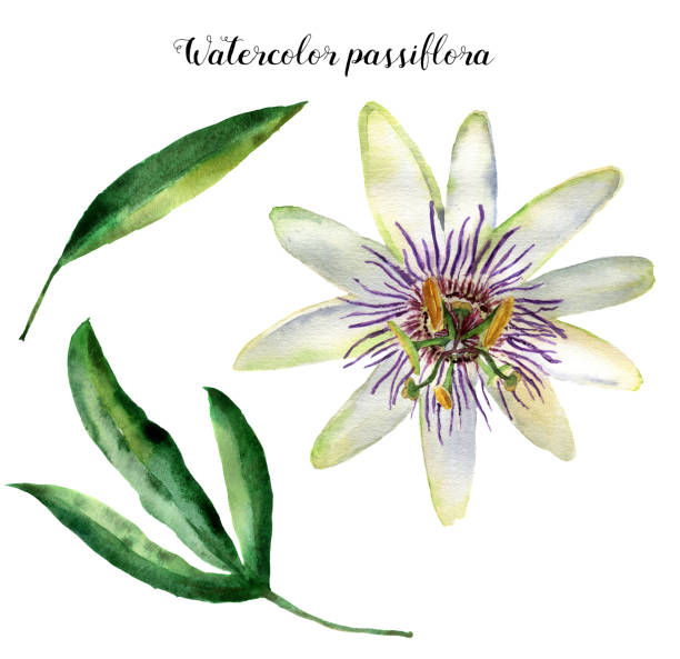 illustrazioni stock, clip art, cartoni animati e icone di tendenza di watercolor passiflora with leaves. hand painted exotic floral illustration isolated on white background. tropic flower for design, print and fabric - passiflora