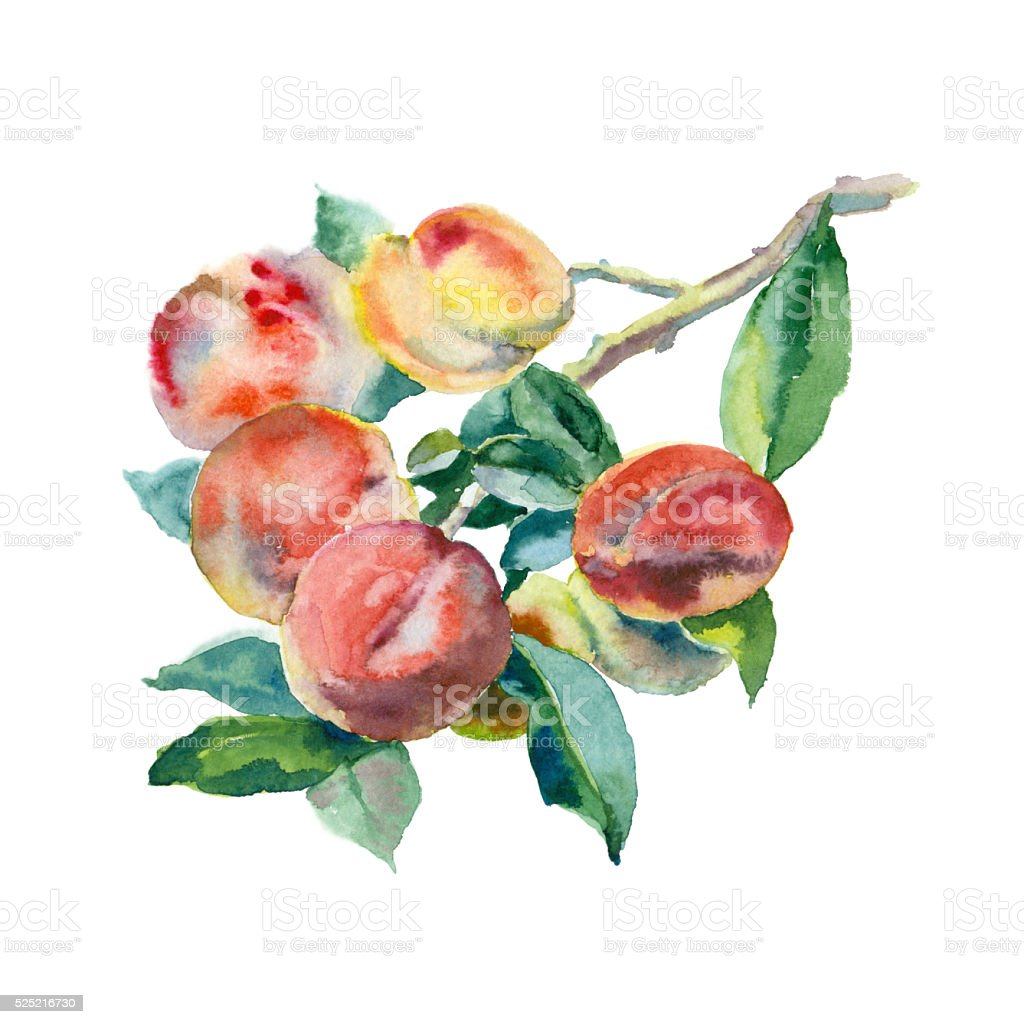 Watercolor peaches on a branch vector art illustration