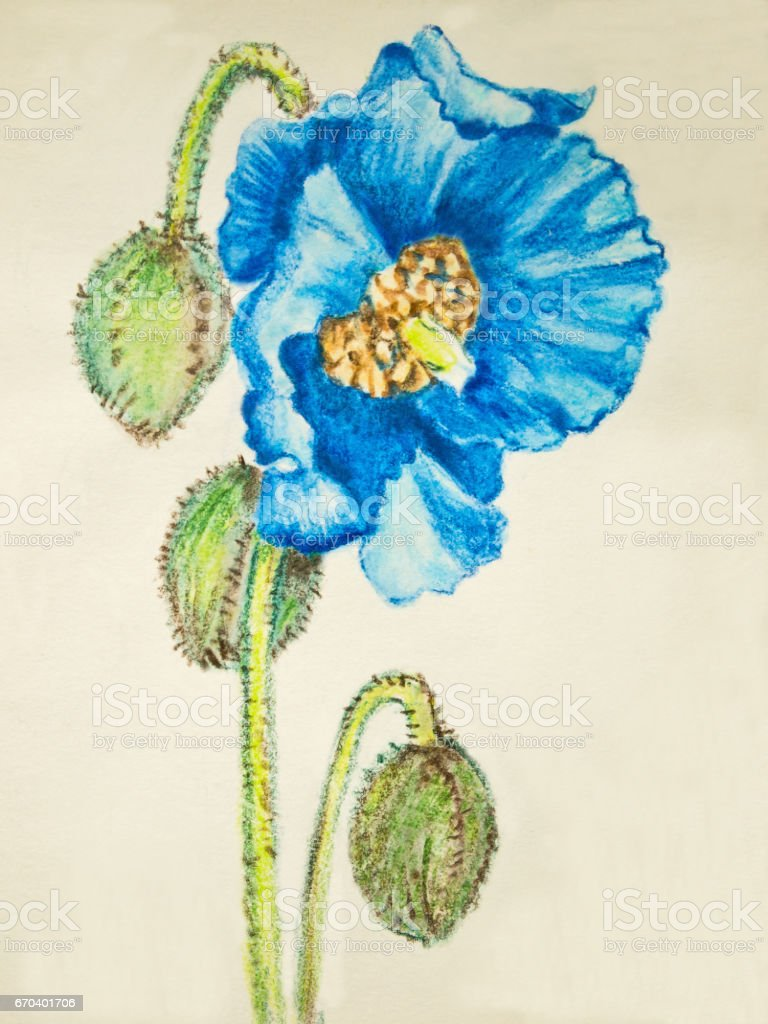 Watercolor pencil painted blue poppy flower stock vector art more watercolor pencil painted blue poppy flower royalty free watercolor pencil painted blue poppy flower stock mightylinksfo