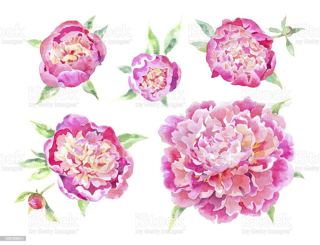 Watercolor Peonies royalty-free stock vector art