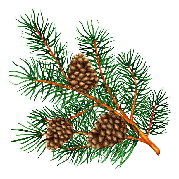 Royalty Free Pine Cone Close Up Clip Art, Vector Images