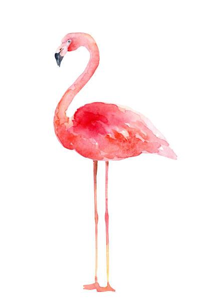 illustrazioni stock, clip art, cartoni animati e icone di tendenza di watercolor pink flamingo on white background - mika