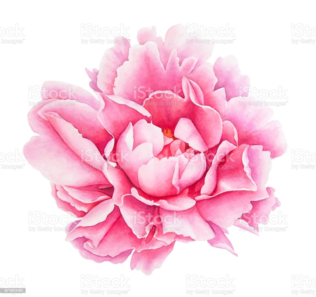 Watercolor Pink Peony Flower Stock Vector Art More Images Of Art