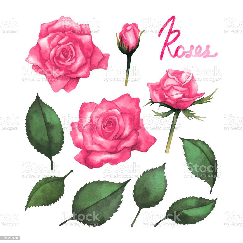 Watercolor pink roses vector art illustration