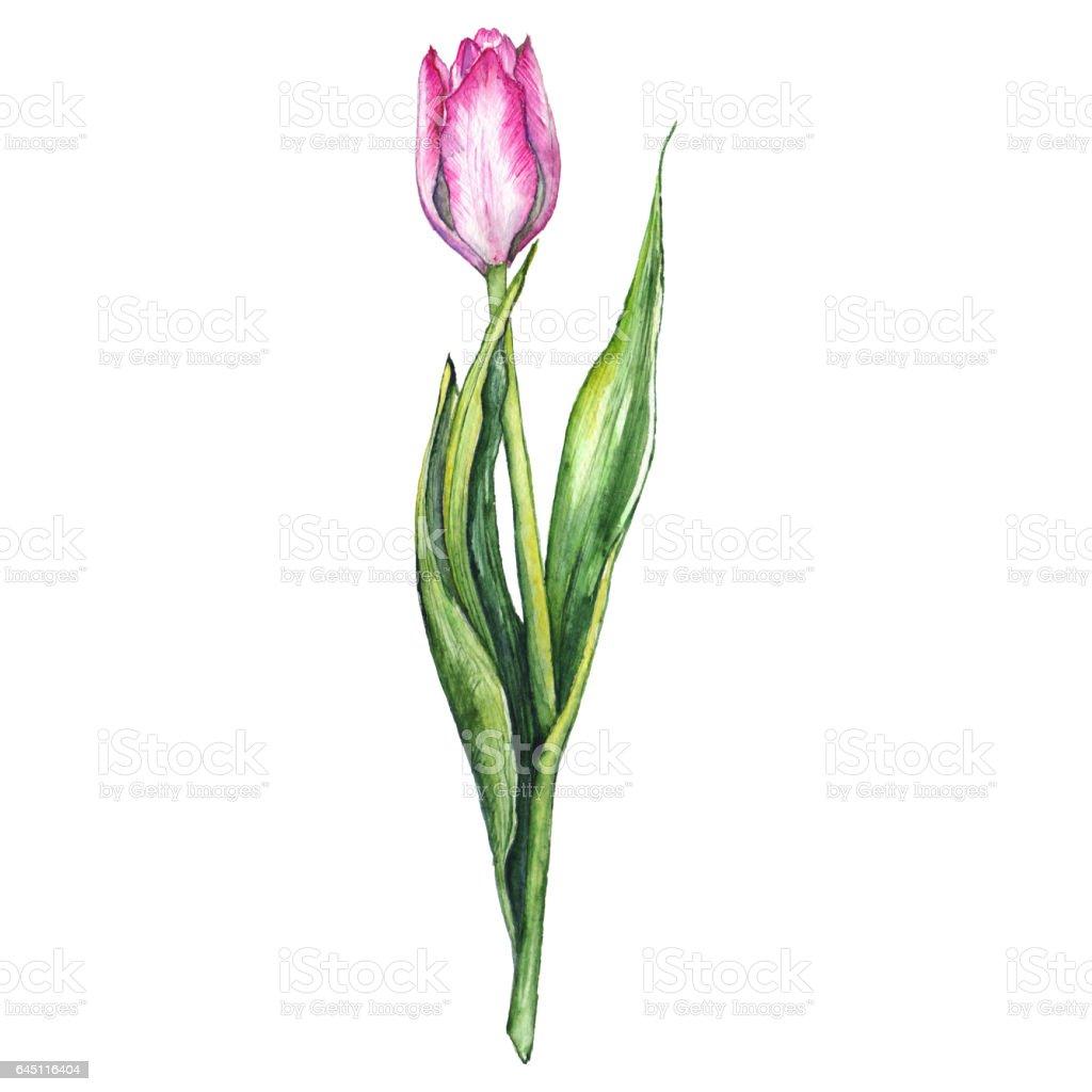 Sulu Boya Pembe Lale Bahar çiçek Doğa Izole Stok Vektör Sanatı