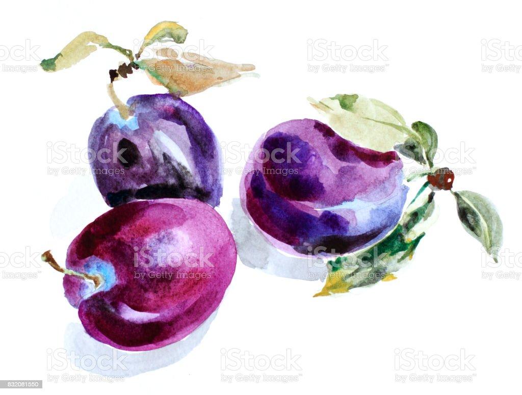 Watercolor plum vector art illustration