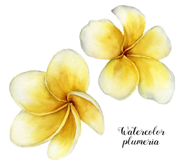 Watercolor plumeria set. Hand painted tropical flowers isolated on white background. Frangipani. For design or background. Floral illustration Watercolor plumeria set. Hand painted tropical flowers isolated on white background. Frangipani. For design or background. Floral illustration. frangipani stock illustrations