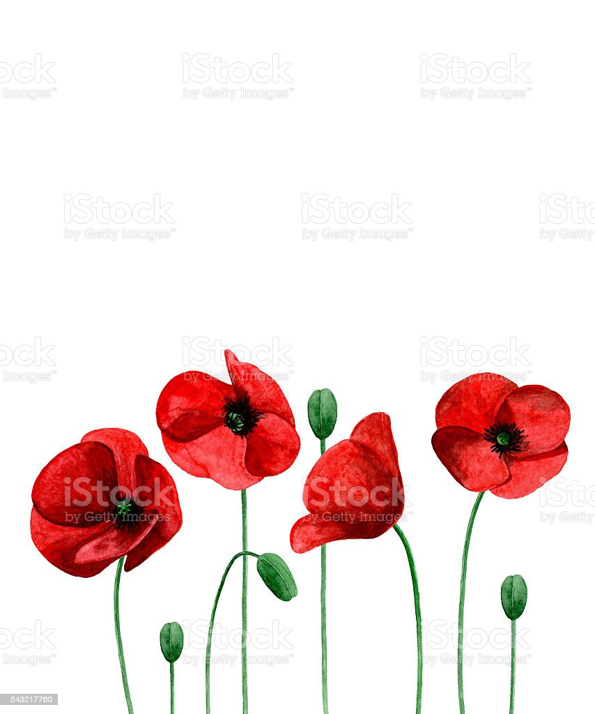 Watercolor poppies vector art illustration
