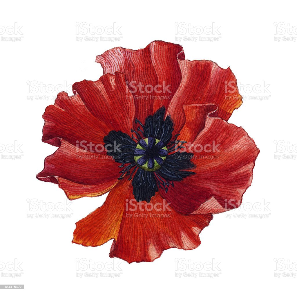 Watercolor poppy vector art illustration