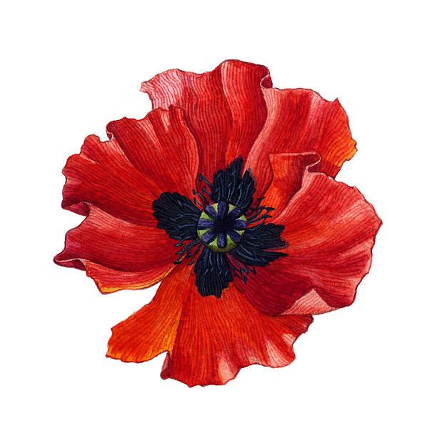 Royalty free poppy flower clip art vector images illustrations watercolor poppy vector art illustration mightylinksfo