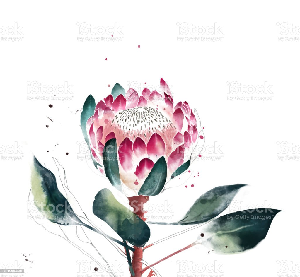 Watercolor protea flower. Hand painted single flower of protea flower. vector art illustration