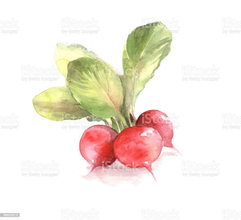 Watercolor radishes. Hand drawn illustration vector art illustration