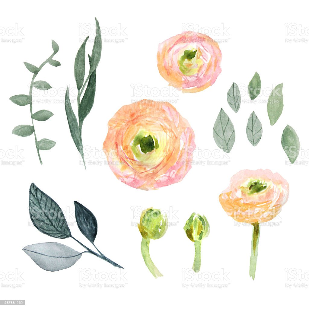 Watercolor ranunculus. vector art illustration