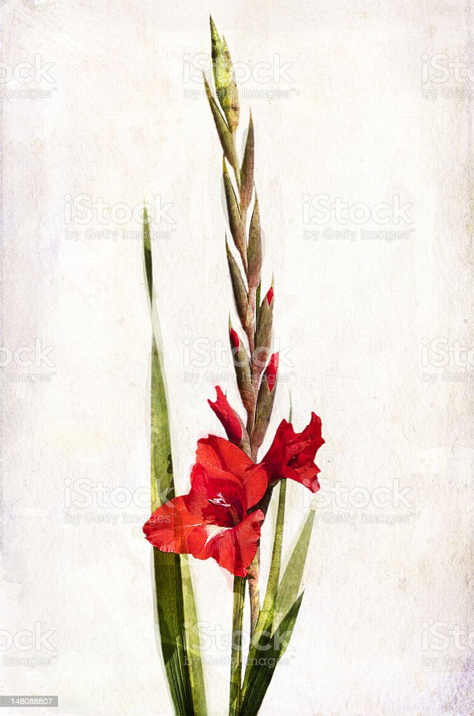 Watercolor red gladiolus vector art illustration