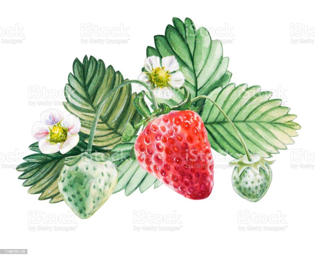 水彩画の赤いジューシーなイチゴの葉っぱ夏の甘い果物やベリー イチゴのベクターアート素材や画像を多数ご用意 Istock