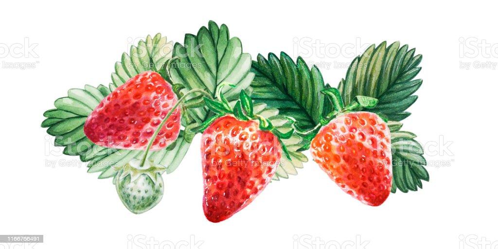 水彩画の赤いジューシーなイチゴの葉っぱ夏の甘い果物やベリー お祝いのベクターアート素材や画像を多数ご用意 Istock