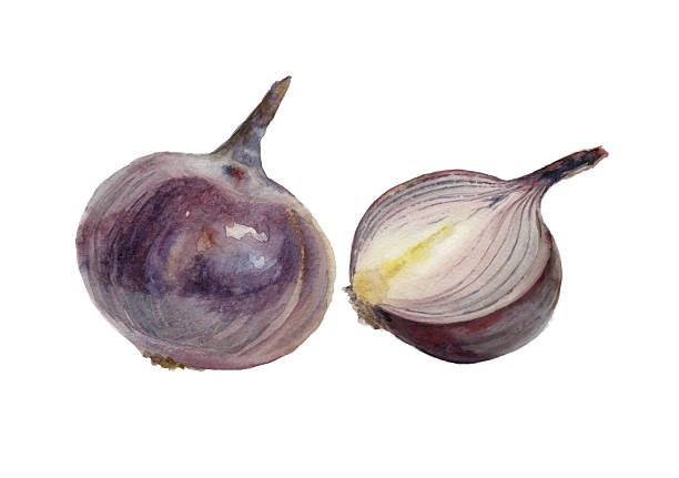 Red Onion Illustration Royalty Free On...