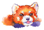 Watercolor red panda animal hand drawn illustration