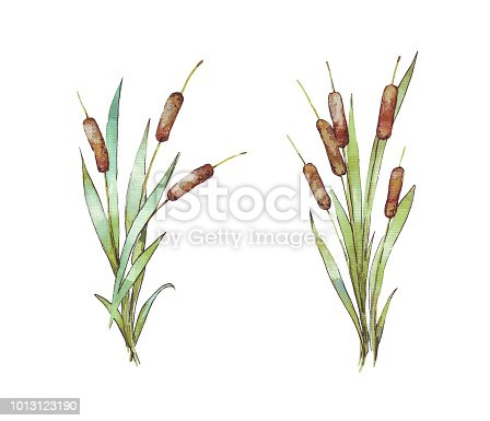 Watercolor reeds with leaves
