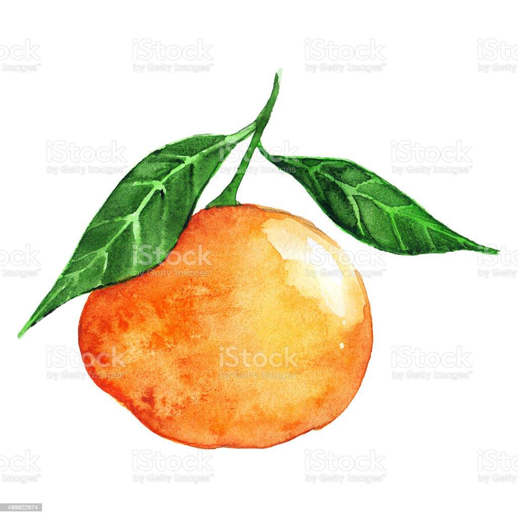 Watercolor ripe orange mandarin citrus fruit isolated vector art illustration
