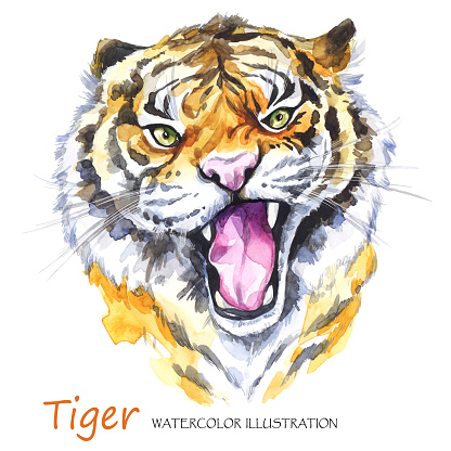 Watercolor roaring tiger on the white background. African animal. Wildlife art illustration. Can be printed on T-shirts, bags, posters, invitations, cards, phone cases, pillows