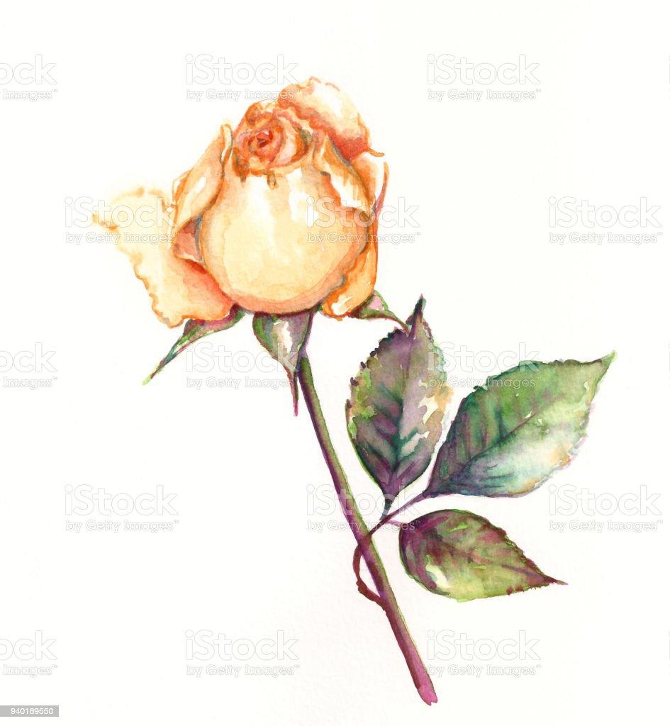 Watercolor Rose Floral Background Stock Illustration Download