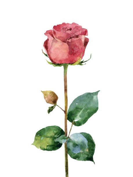 illustrazioni stock, clip art, cartoni animati e icone di tendenza di watercolor rose on white background - mika