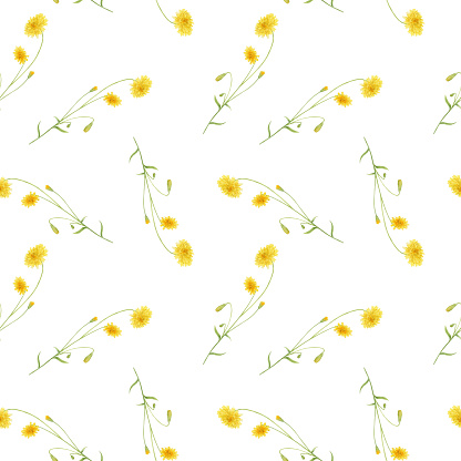 Watercolor seamless pattern with wild meadow yellow crepis flowers isolated on white background.