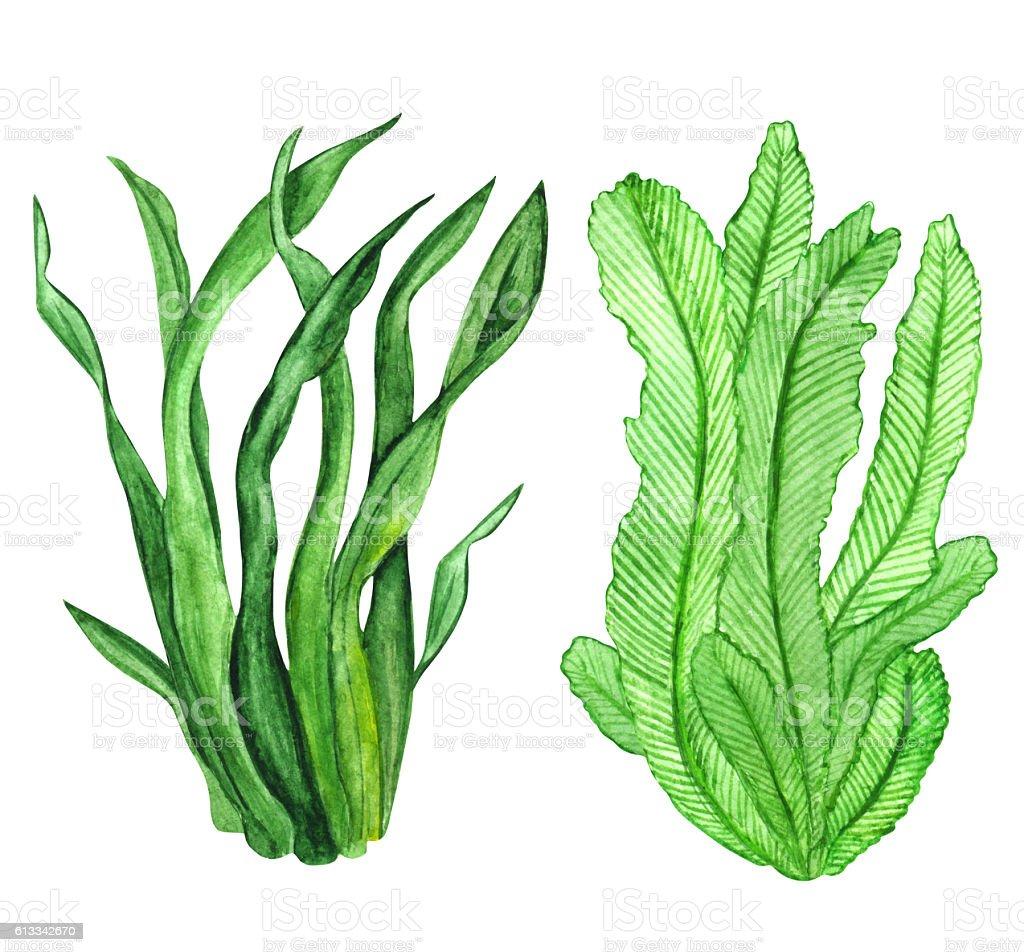Watercolor seaweed, green leaves vector art illustration