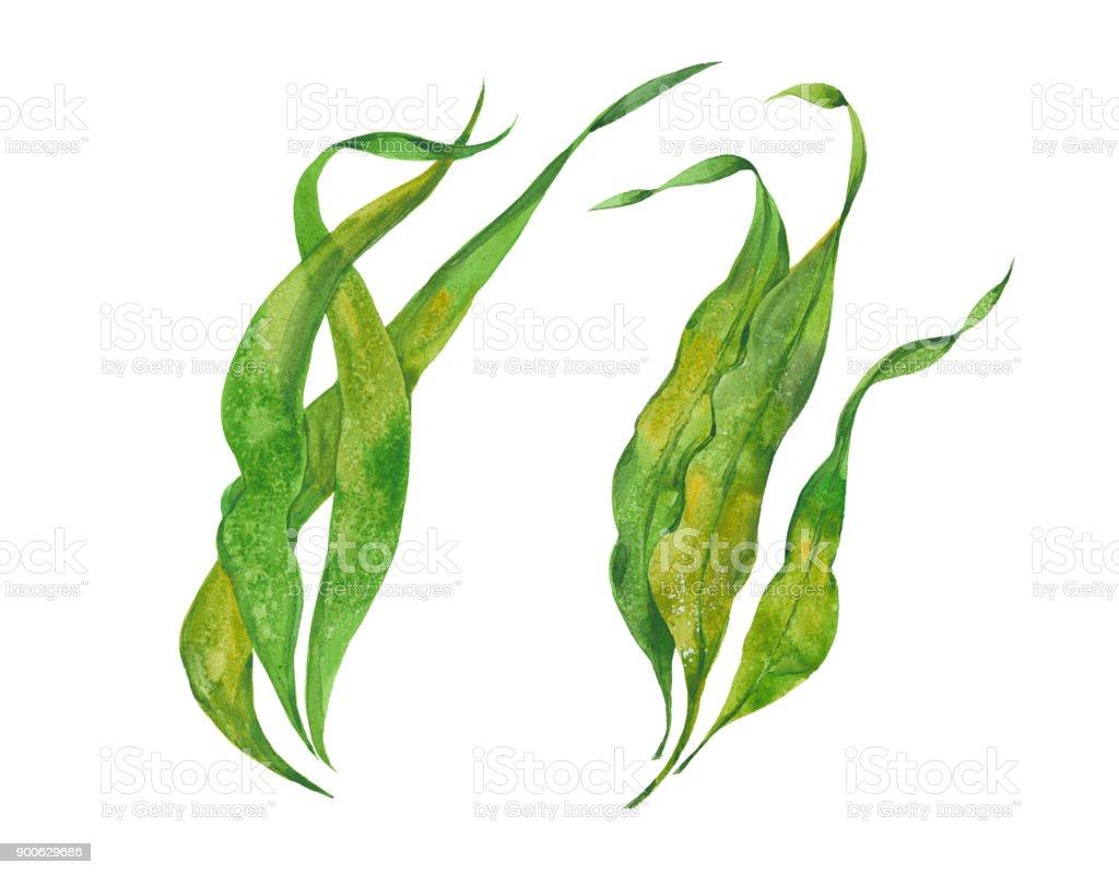kelp alga marina acuarela - ilustración de arte vectorial