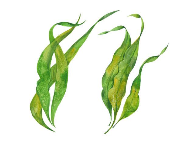 bildbanksillustrationer, clip art samt tecknat material och ikoner med akvarell tång kelp - sjögräs alger