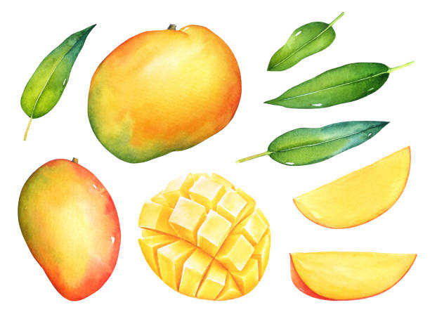 Watercolor set of mango fruits with green leaves Hand drawn watercolor set of mango fruits with green leaves isolated on white background. mango stock illustrations