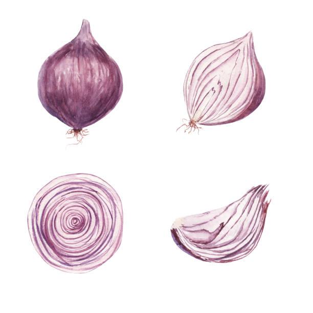 illustrazioni stock, clip art, cartoni animati e icone di tendenza di watercolor set of sweet onion vegetable - aglio cipolla isolated