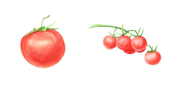 watercolor set of tomato vegetable isolated on white background - cherry tomato stock illustrations