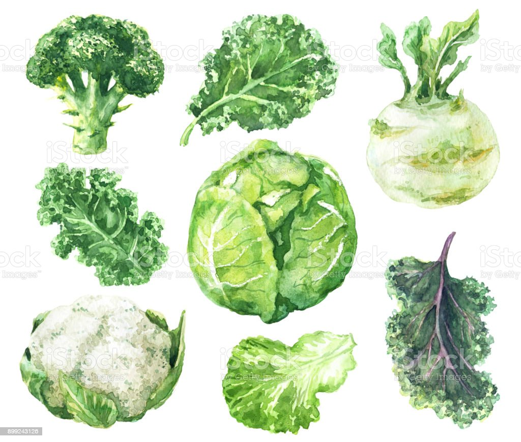 Watercolor Set of Variety Cabbage vector art illustration