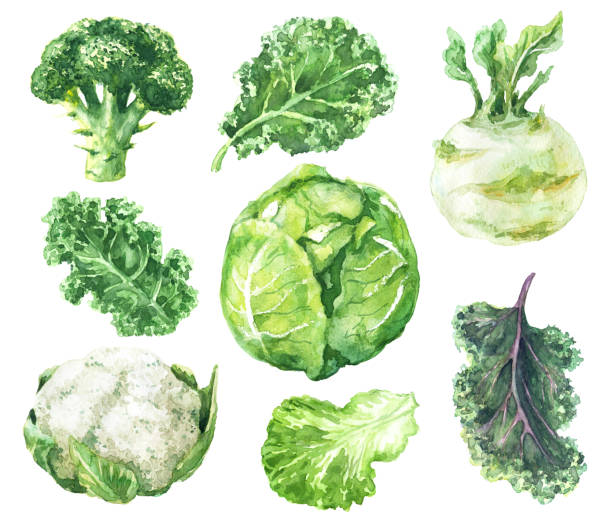 watercolor set of variety cabbage - lettuce stock illustrations