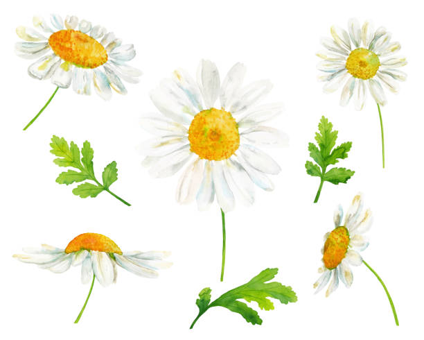 Watercolor set with chamomile flowers and leaves Watercolor hand drawn botanical illustration set with chamomile flowers and leaves isolated on white background chamomile plant stock illustrations