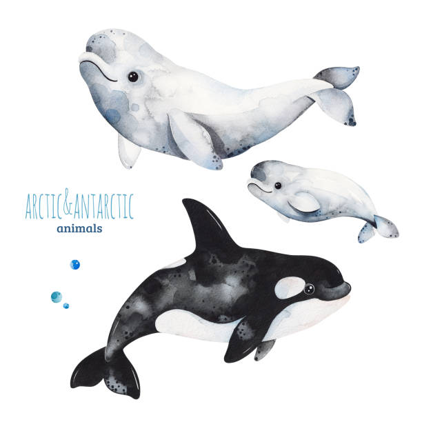 Watercolor set with cute beluga and orca whale Watercolor set with cute beluga and orca whale.Cartoon arctic and antarctic animals.Perfect for your project,print,scrapbook,baby shower,Birthday card,invitations,greeting card and much more. beluga whale stock illustrations