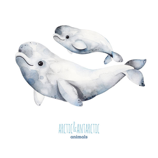 Watercolor set with cute mother and baby beluga whales Watercolor set with cute mother and baby beluga whales .Cartoon arctic and antarctic animals.Perfect for your project,print,scrapbook,baby shower,Birthday card,invitations,greeting card and much more. beluga whale stock illustrations