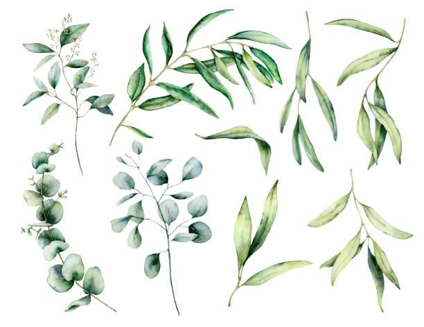 zestaw akwarelowy z gałązką oliwek i eukaliptusa, liście. ręcznie malowana ilustracja kwiatowa izolowana na białym tle do projektowania, druku, tkaniny lub tła. - gałąź część rośliny stock illustrations