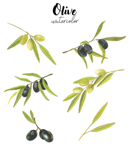 Watercolor set with olives isolated on white background. Hand drawn illustration Watercolor set with olives isolated on white background. Hand drawn illustration for your design olive branch stock illustrations