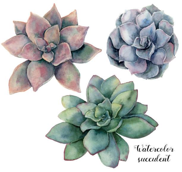 Acuarela conjunto con violeta, rosa y verde suculento. Planta aislada sobre fondo blanco pintado a mano. Ilustración floral natural para el diseño, impresión, tela o fondo. - ilustración de arte vectorial