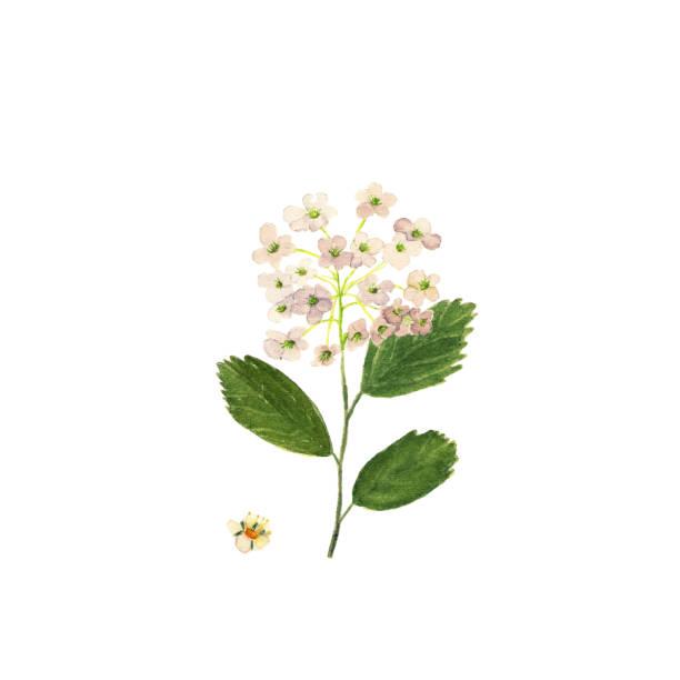小さな白い花を水彩低木シモツケ。シモツケ属の vanhouttei。春のシモツケの花 - トヨタ点のイラスト素材/クリップアート素材/マンガ素材/アイコン素材