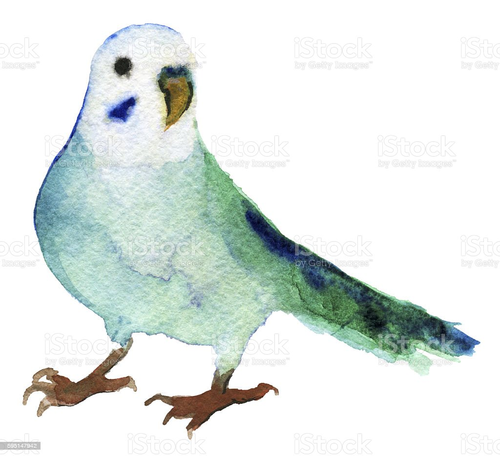 watercolor sketch of budgerigar parrot on white background vector art illustration
